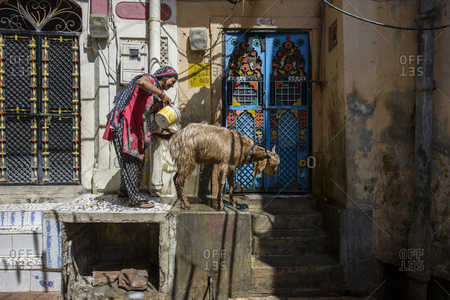 March 6, 2014: Bathing a goat in the street, Jodhpur
