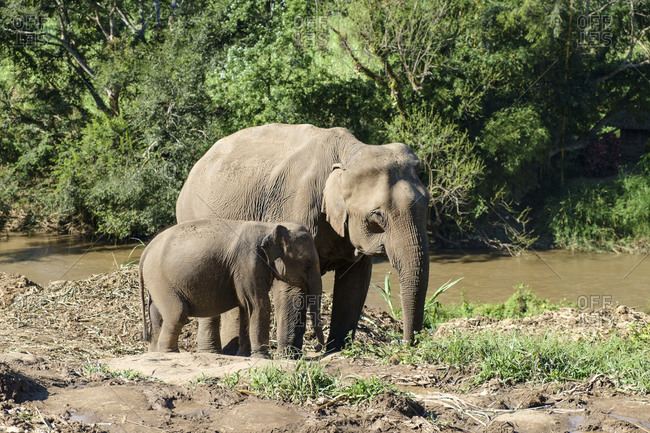 Elephant cow with elephant calf, Chiang Mai, Thailand