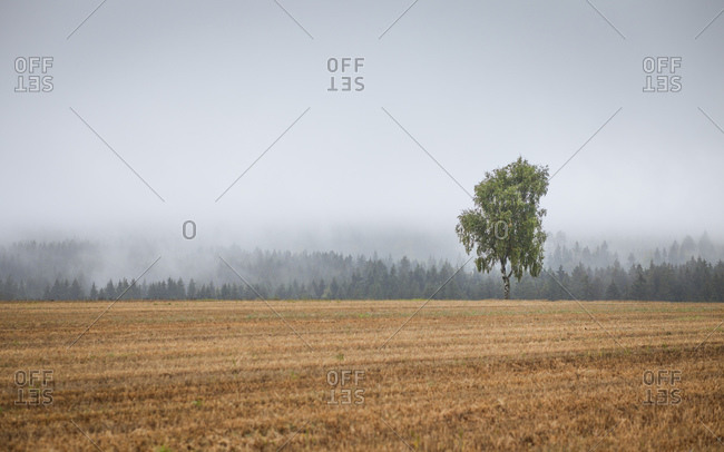 Tree on field, forest in the fog, near Gefrees, Fichtelgebirge, district Bayreuth, Bavaria, Germany