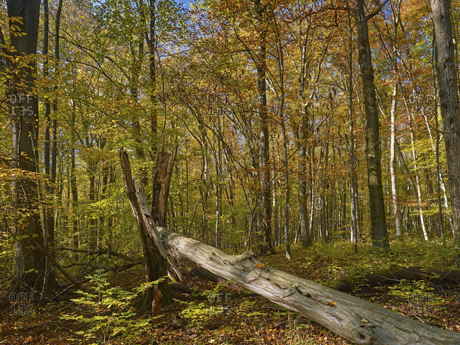 Autumn with dead wood in the Hainich National Park, Thuringia, Germany