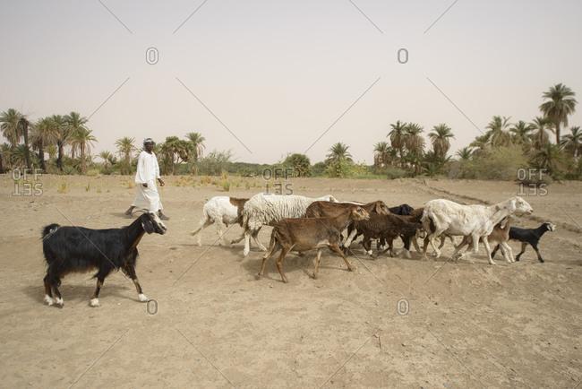April 23, 2014: Goatherd in the Sahara desert, Sudan