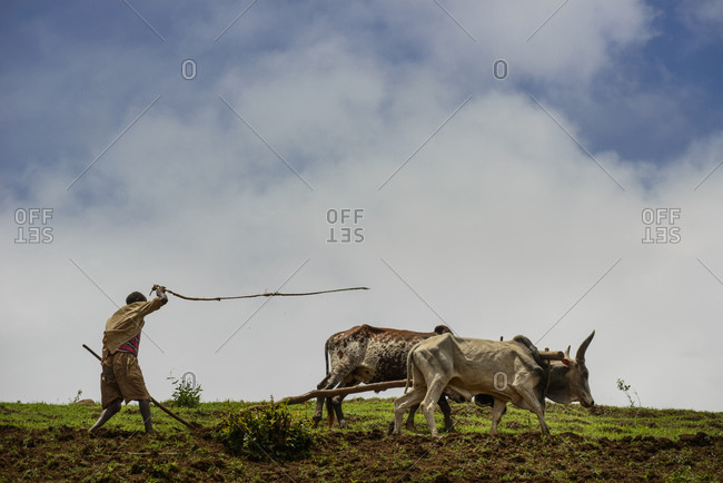 A Tigrayan man works on his field in Simien mountains, Ethiopia