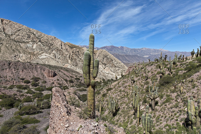 Cacti in the UNESCO protected Quebrada de Humahuaca, Jujuy Province, Argentina, South America