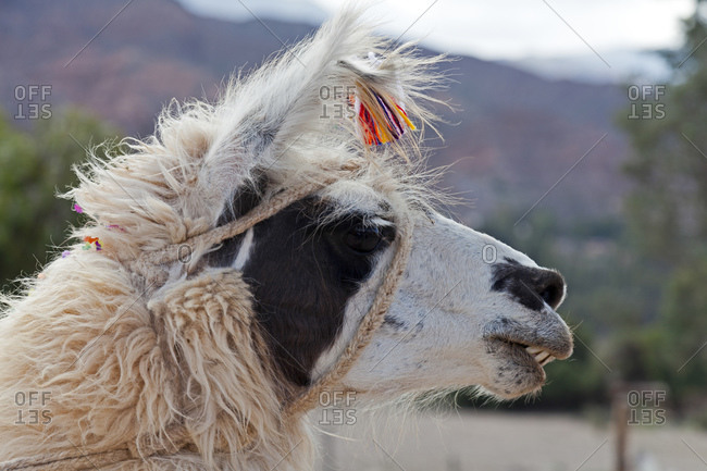 Llama with ear tag made from cotton flowers, traditional brand, Tilcara, Jujuy Province, Argentina, South America