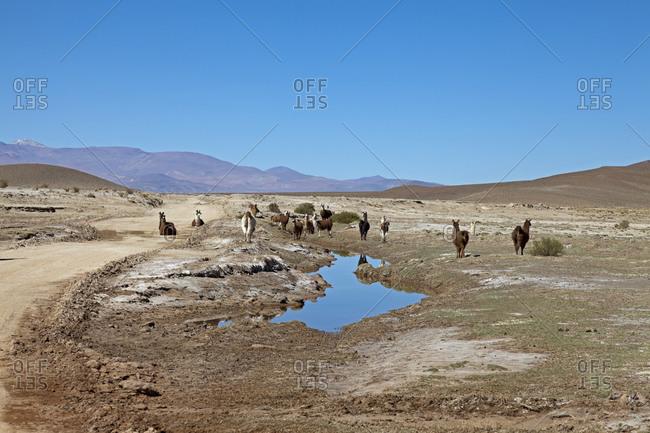 Llama herd in the Puna desert, Argentina, South America