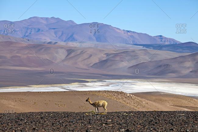 Vicu�a at the Salar de Cauchari, Salta Province, Argentina, South America