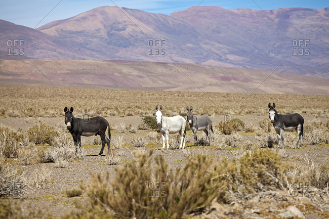 Wild donkeys in the Puna desert at Salinas Grandes, Jujuy Province, Argentina, South America