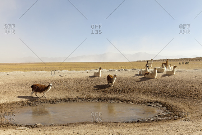 Llamas in the Puna Desert, Salta Province, Argentina, South America