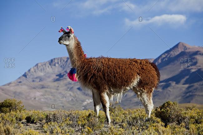 Llama herd in the Puna Desert, Jujuy Province, Argentina, South America