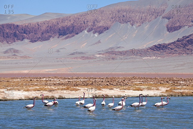 Flamingos, Laguna Colorada, Puna Desert, Catamarca Province, Argentina, South America
