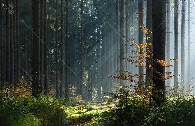 Sun rays in the forest, spruce forest in autumn, fog, Mansfeld-Sudharz, Saxony-Anhalt, Germany