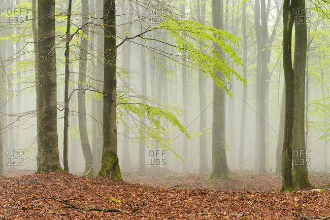 Beech forest in early spring, dense fog, Kellerwald-Edersee Nature Park, Hesse, Germany