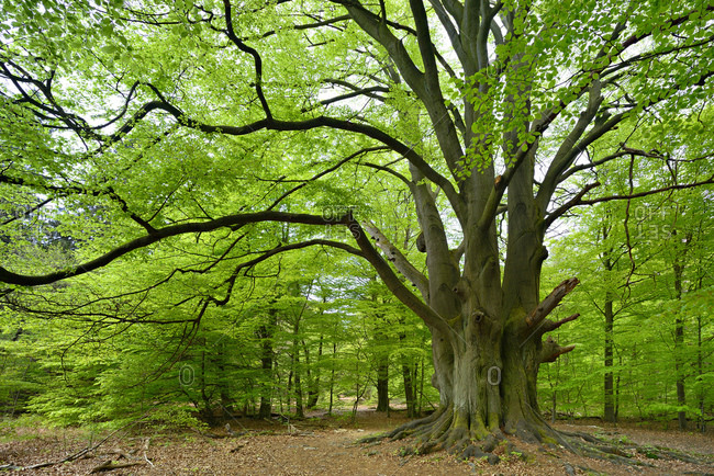 Giant beech tree in a former hut forest, Urwald Sababurg, Reinhardswald, Hessen, Germany