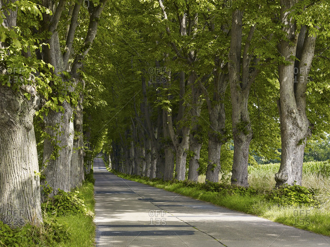 Lindenallee near Krummin, Usedom, Mecklenburg-West Pomerania, Germany