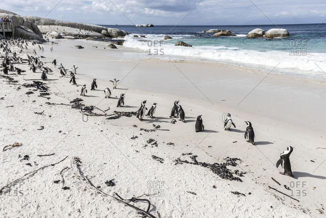 Spectacled Penguins (Spheniscus demersus) on the beach, Boulders Beach, near Simon's Town, Cape Town, Western Cape, South Africa, Africa