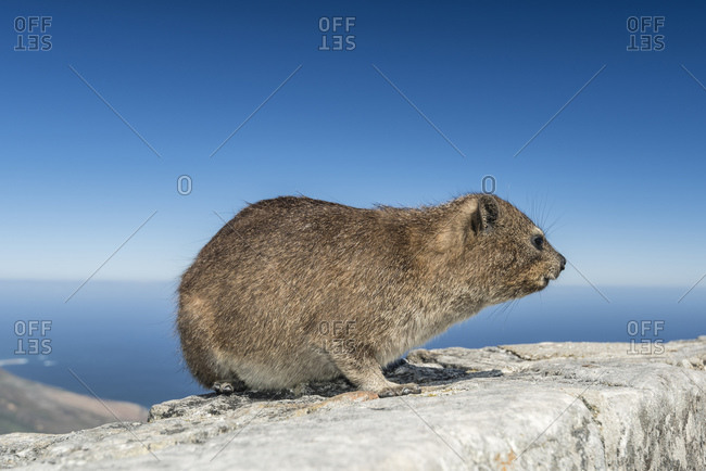 Rock Hyrax, Table Mountain, Cape Town, Western Cape, South Africa, Africa