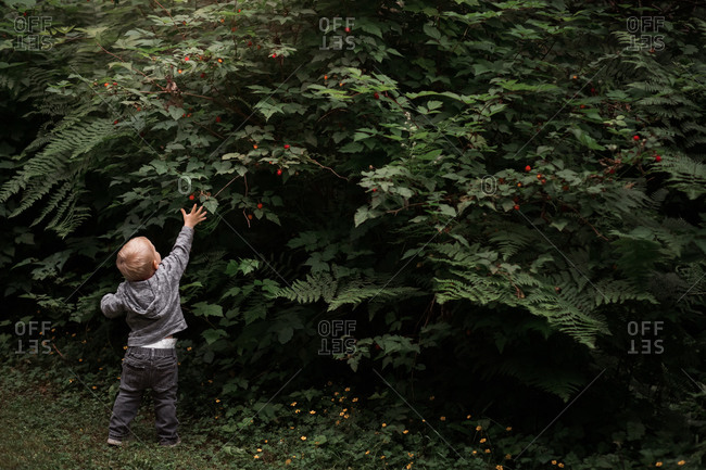Rear view of toddler boy reaching for berries on a bush
