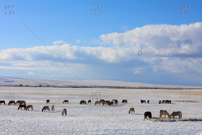 Wild horses in the snow in Xinjiang