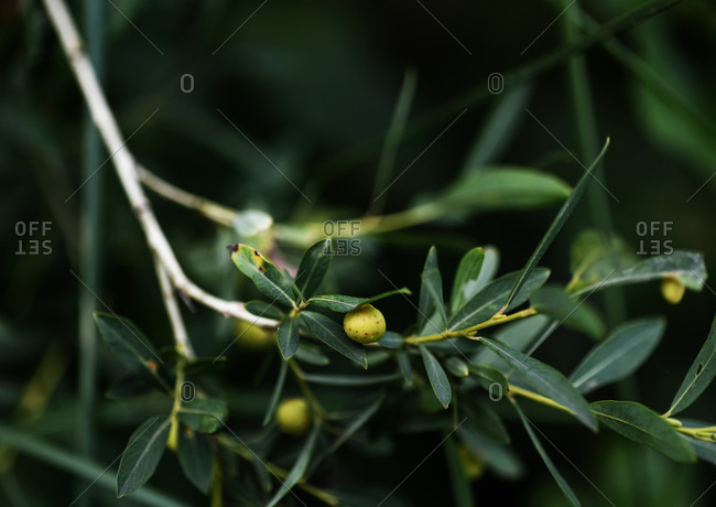 Spotted green fruit growing on a tree