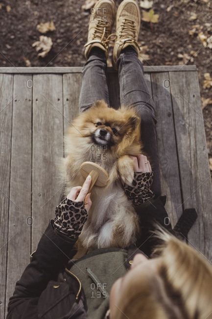 Directly above view of woman brushing Pomeranian lying on lap at park
