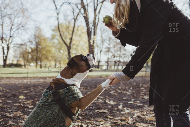 Midsection of young woman and boxer dog with handshake while holding ball at park