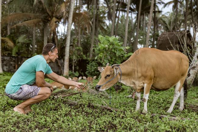 Man feeding cow, Bali, Indonesia