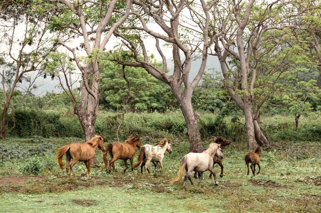 Wild horses, Sumbawa island, Indonesia