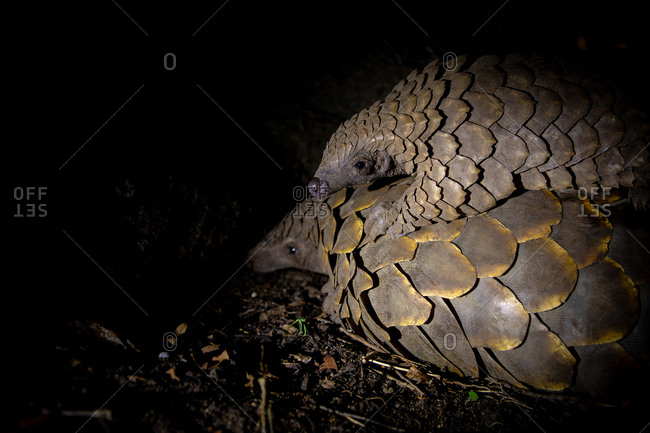 A pangolin, Smutsia temminckii with her pup on her back, blacked out background