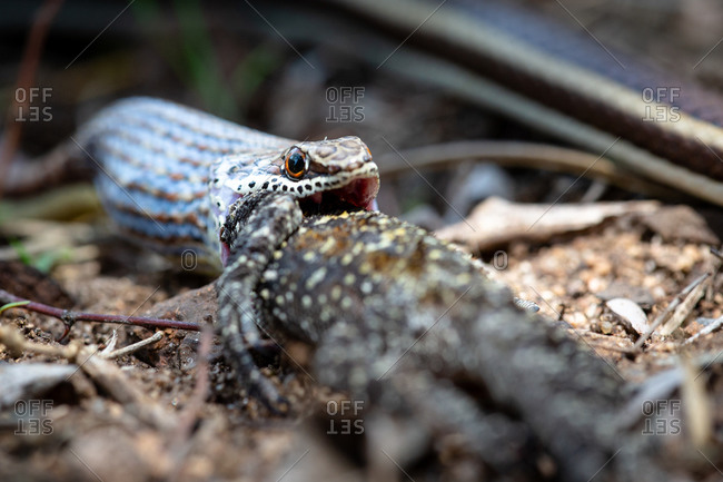 A western strip-bellied sand snake swallowing a tree agama lizard