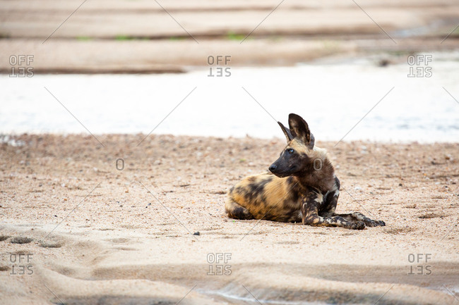 A wild dog, Lycaon pictus, lies on the sand of the river bank, ears pricked