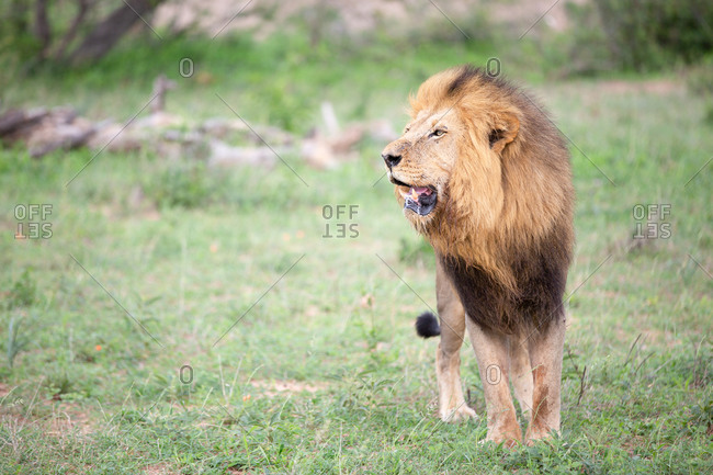 A male lion, Panthera leo in grass, mouth open