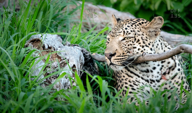 A leopard, Panthera pardus, lying down resting its head on a branch, ears back