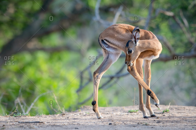 An impala calf, Aepyceros melampus, turns and licks its hind leg, hind leg raised