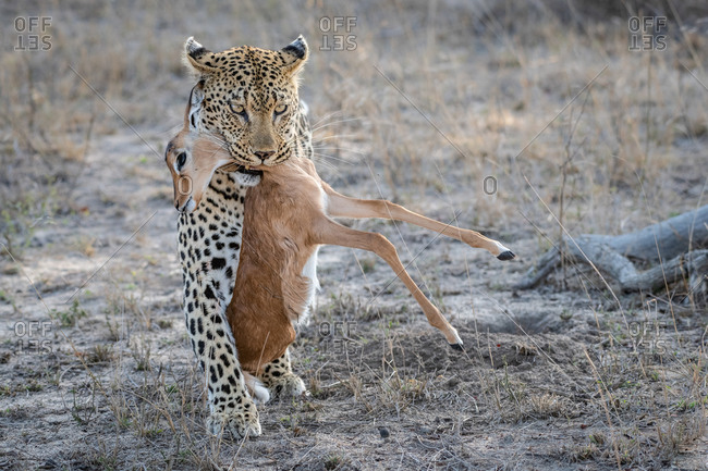 A leopard, Panthera pardus holding an impala calf carcass in its mouth, Aepyceros melampus