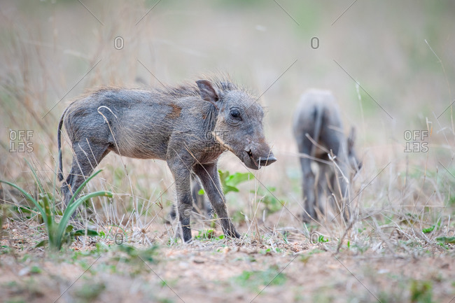 A warthog piglet, Phacochoerus africanus, stands in short grass, ears back