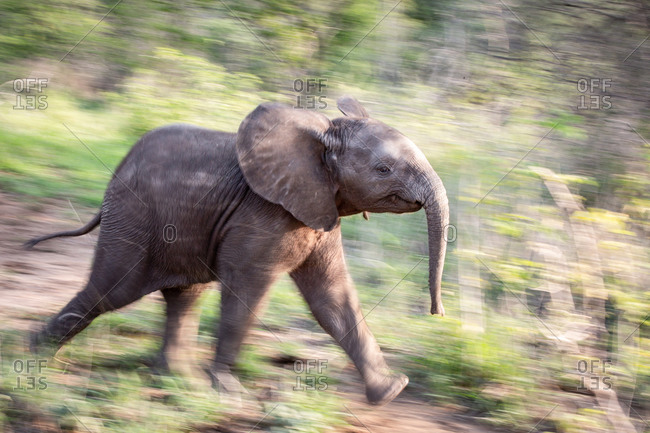 A side profile of an elephant calf, Loxodonta africana, running through greenery, motion blur
