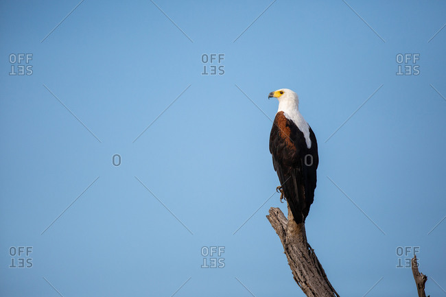 A fish eagle, Haliaeetus vocifer, perches on a dead branch, blue sky background