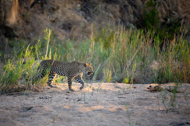 A leopard, Panthera pardus, walks through a sand bank, front leg raised