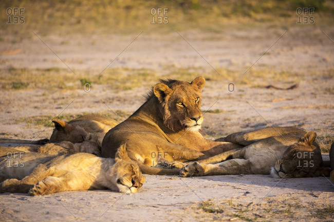 A group of lions resting in shade.