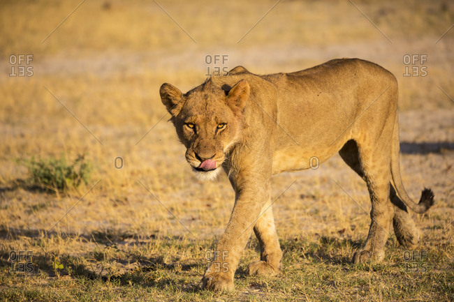 A lioness on her feet, walking across sand.