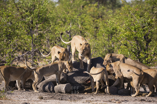 Female lions feeding on a dead elephant carcass.