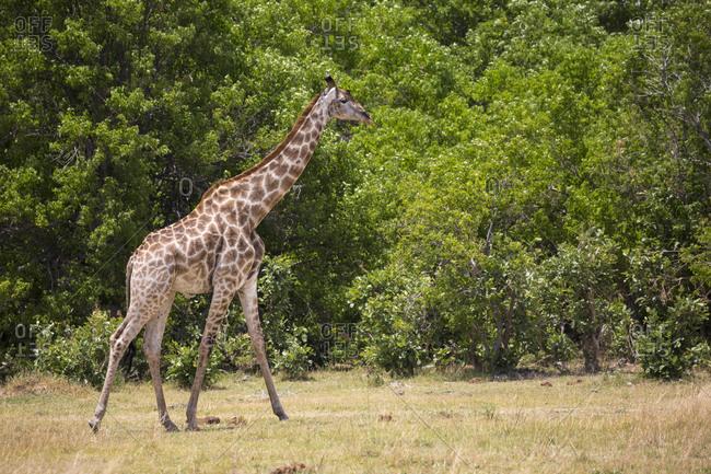 A Giraffe in a wildlife reserve