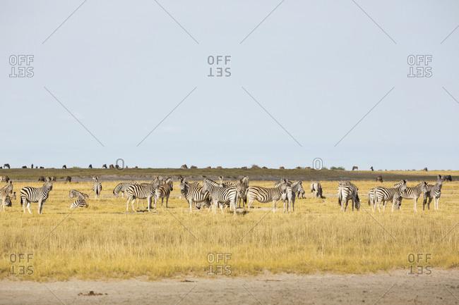 A herd of Burchell's Zebra, Kalahari Desert.