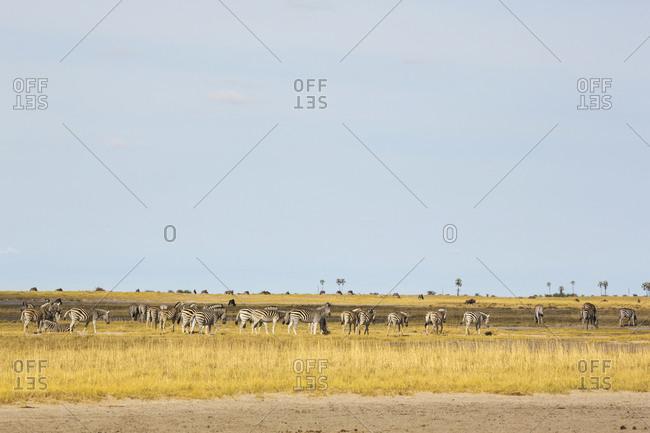 A large herd of Burchell's Zebra grazing, Kalahari Desert.