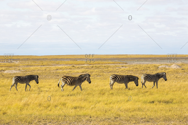 Burchell's Zebra crossing Kalahari Desert