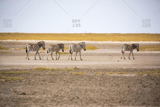 Four Burchell's zebra walking across the dry surface of the Kalahari Desert