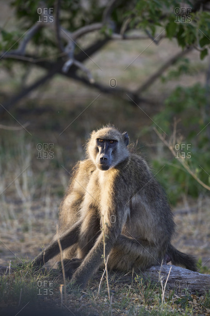 Two baboons under the shade of a tree.