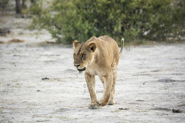 An adult female lion in a wildlife reserve