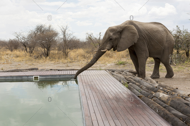 An elephant drinking with its trunk from a wildlife reserve camp swimming pool.