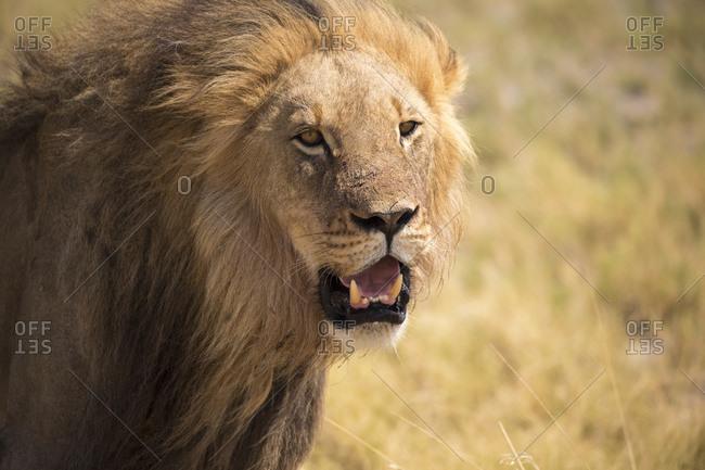 male lion, Kalahari Desert, Makgadikgadi Salt Pans, Botswana